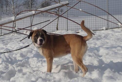Spajk dvouletý mazel,hledá domov ideálně k domku se zahradou a spaním doma.Spajk je akční,milý pes,který potřebuje někoho mít.Zvykací návštěvy.