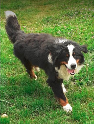 22.5.2021  MONTY 1,5 letý kříženec BSP hledá domov,kde pro něho budou mít pochopení,lásku a trpělivost,aby mohl poznat to co jako štěně nezažil...mazlení,hraní,hůze na vodítku,aby mohl na vycházky,prostě normální psí život...pomoci by mu s tím mohla větší vyrovnaná fenka.